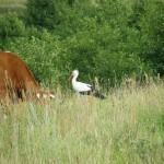 Głazowisko Bachanowo krowa zbocianem